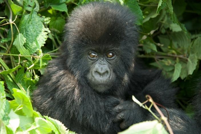 bebe-gorila13