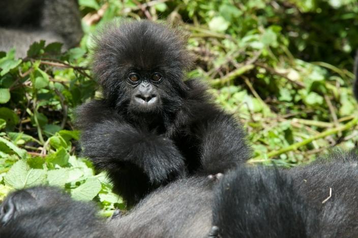 bebe-gorila14