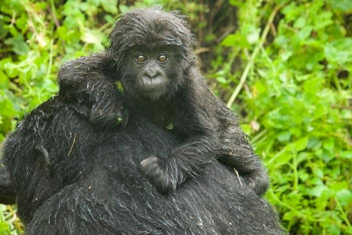 bebe-gorila15
