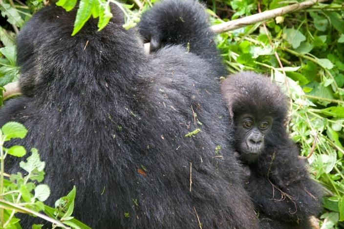 bebe-gorila16