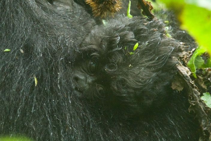bebe-gorila17