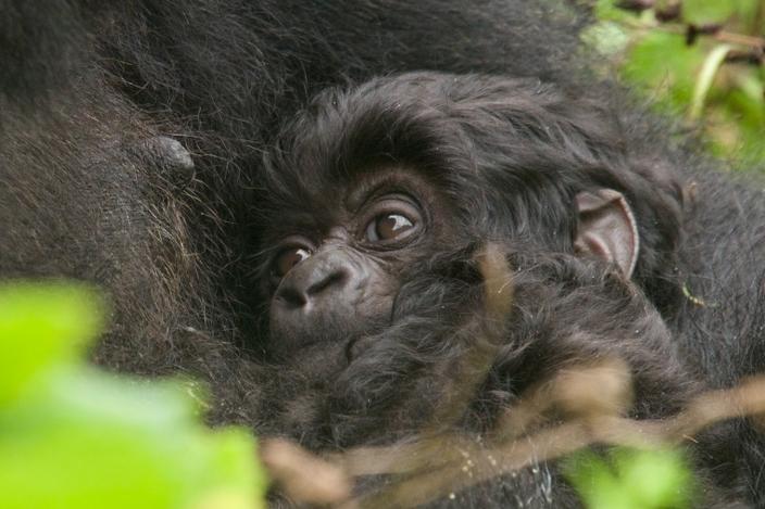 bebe-gorila18