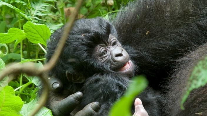 bebe-gorila19