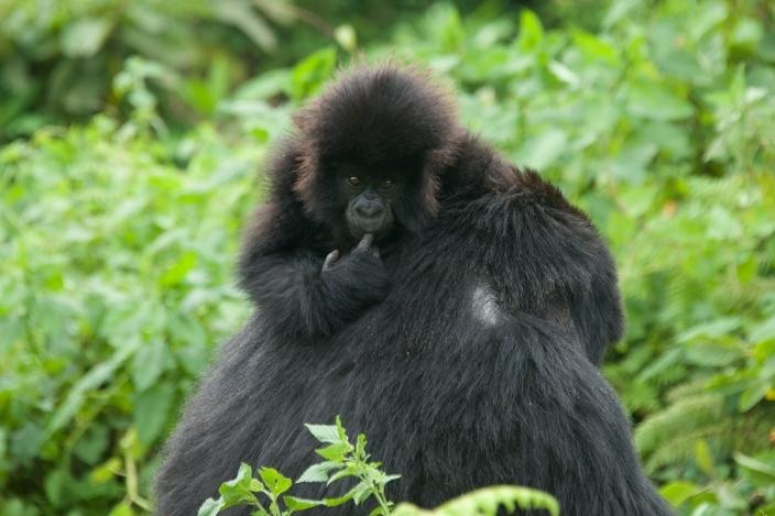 bebe-gorila2