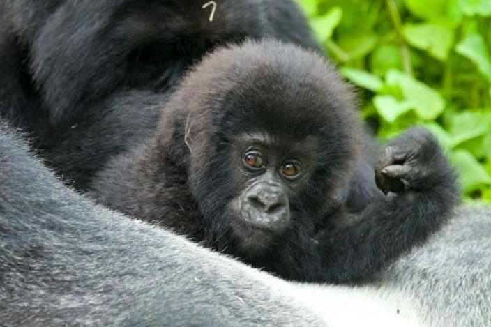 bebe-gorila20