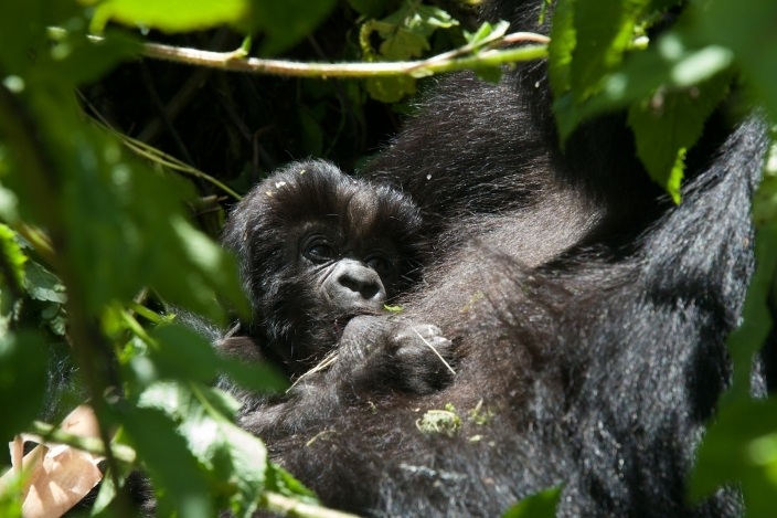 bebe-gorila21