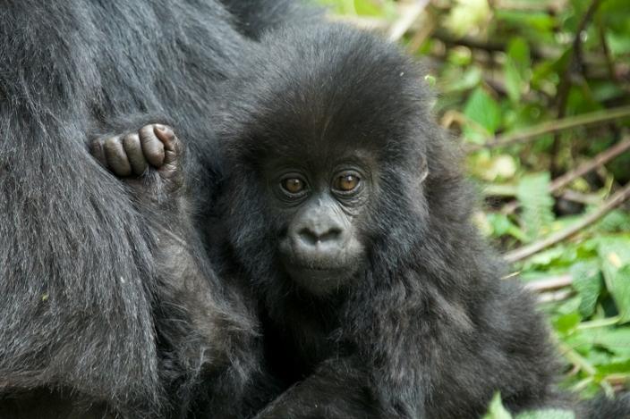 bebe-gorila22