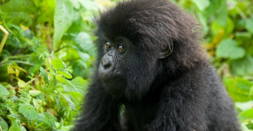 bebe-gorila23 - copia