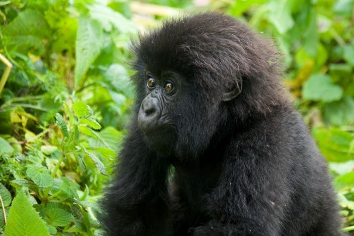 bebe-gorila23