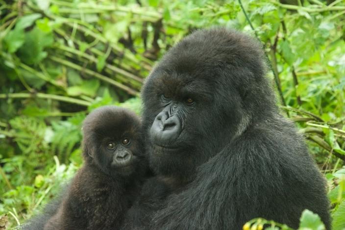 bebe-gorila24