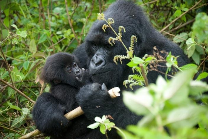 bebe-gorila4
