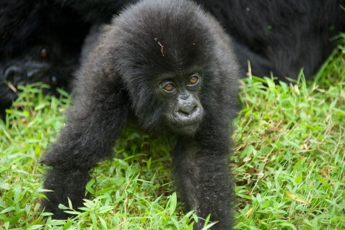 bebe-gorila5