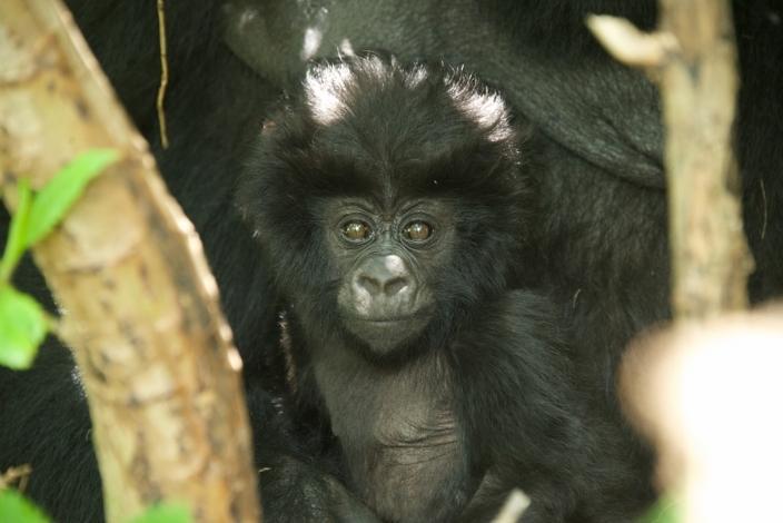 bebe-gorila7
