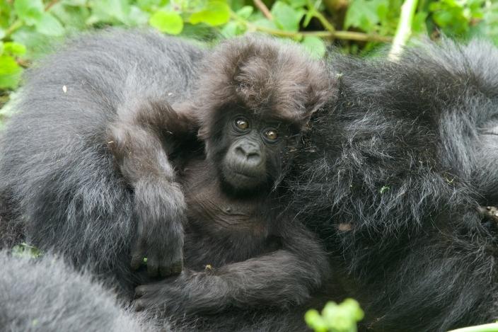 bebe-gorila8