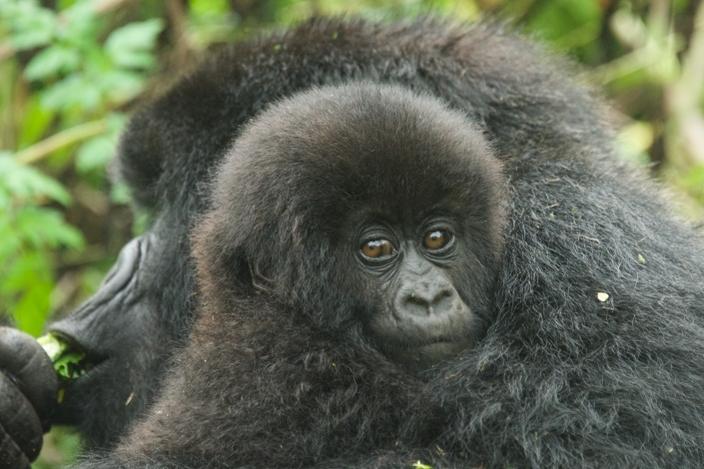 bebe-gorila9