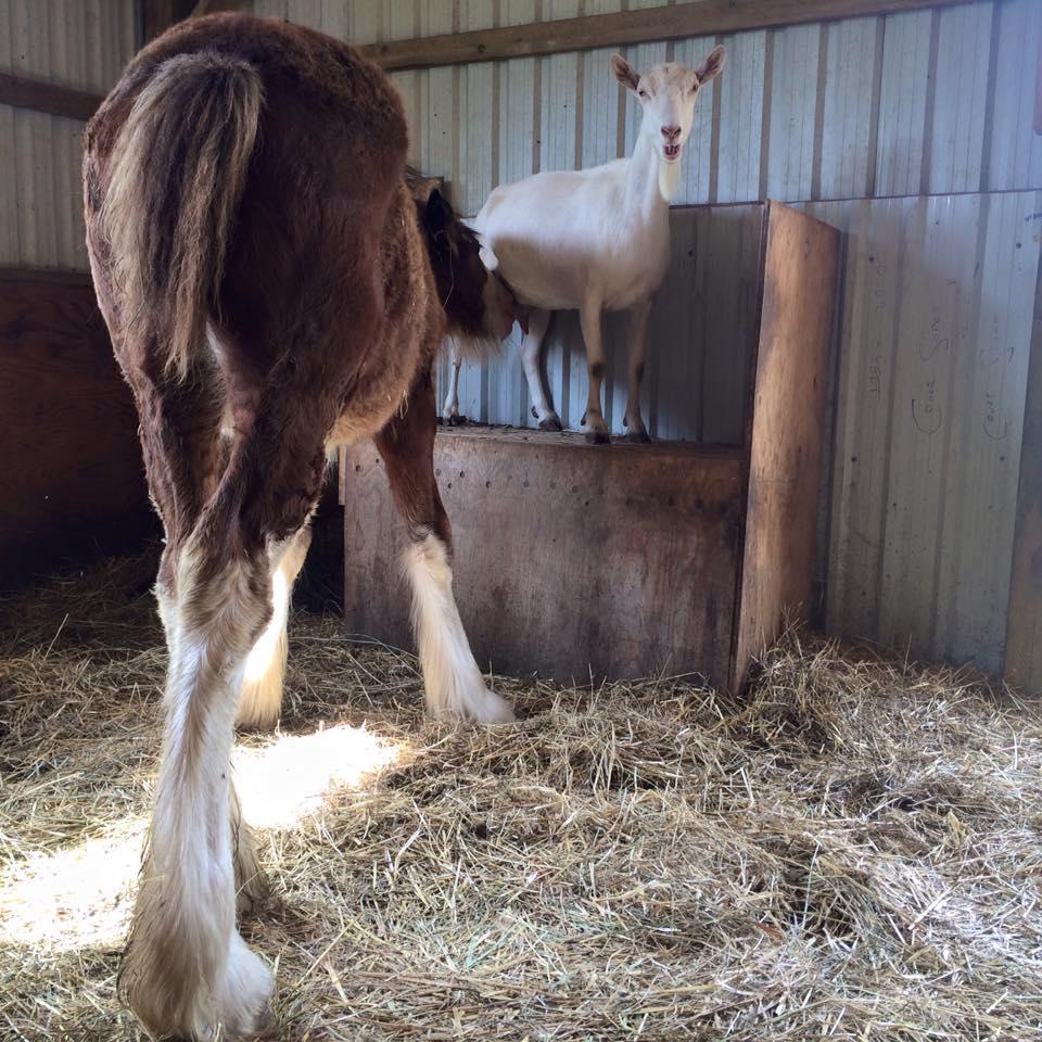 caballo-adoptado4