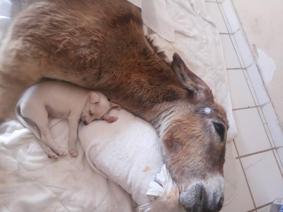 cachorro cuida burro 3