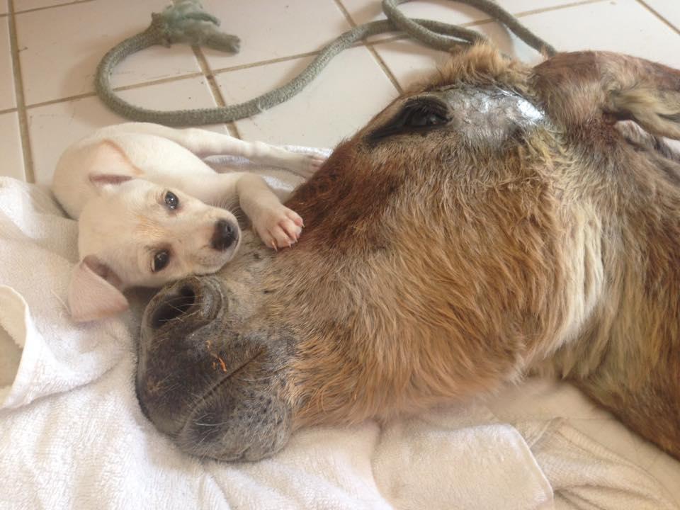cachorro cuida burro 4