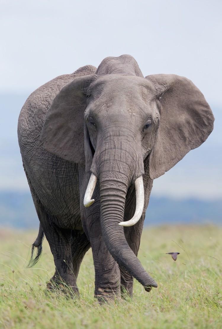 elefante-william1