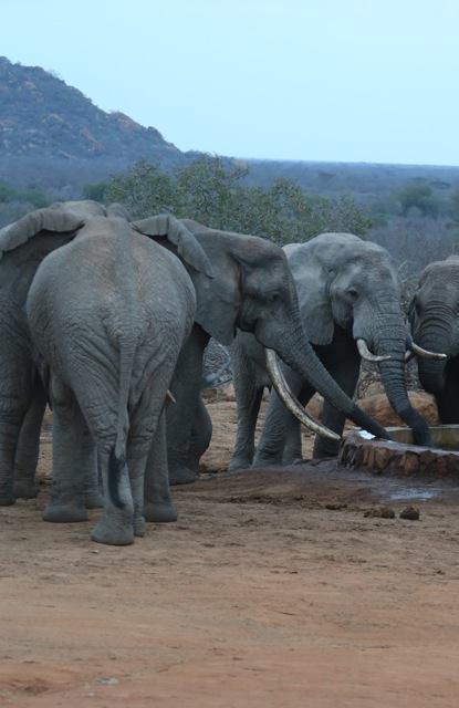 elefantes-atacados1
