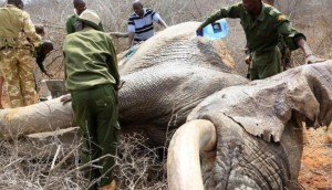 elefantes-atacados4