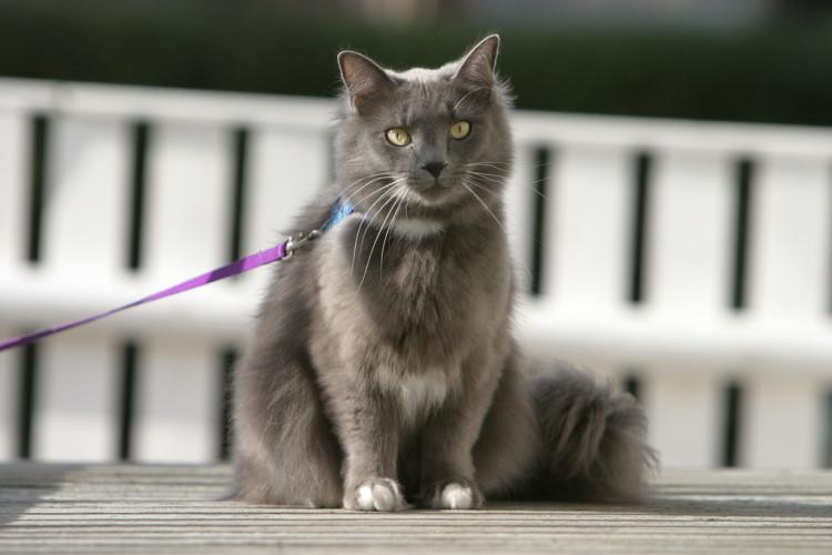 enseñar-un-gato-pasear-correa