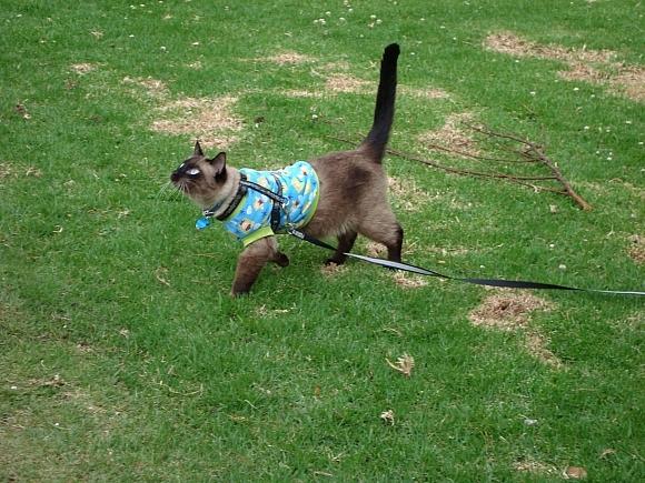 gato-paseando-con-correa-feliz