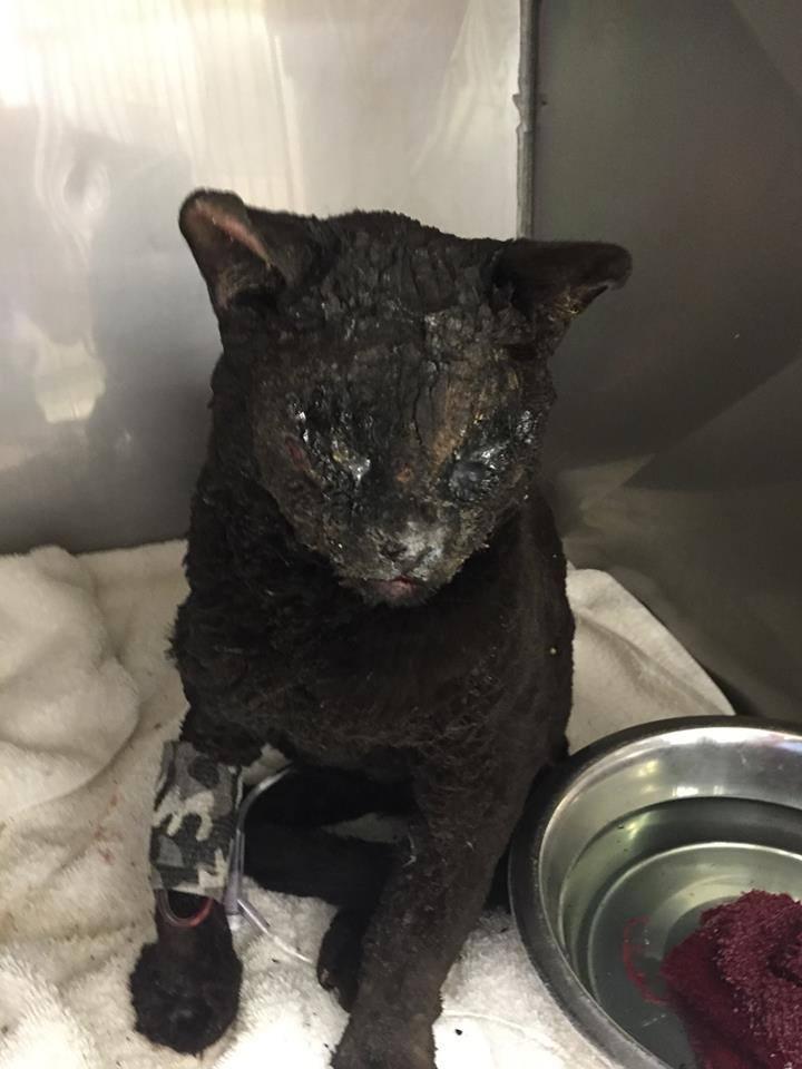 gato-quemado-sobreviviente1