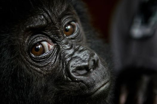 gorila-huerfano2