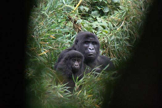 gorila-huerfano3