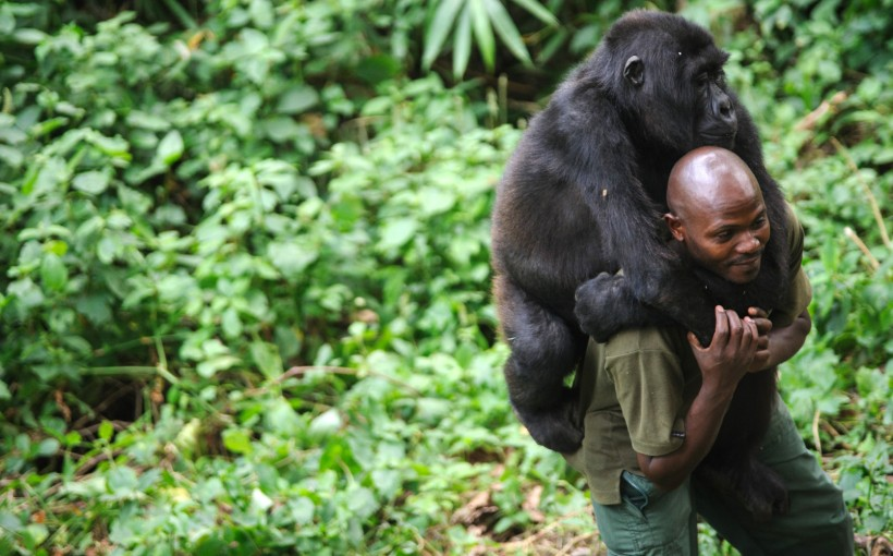 gorila-huerfano6