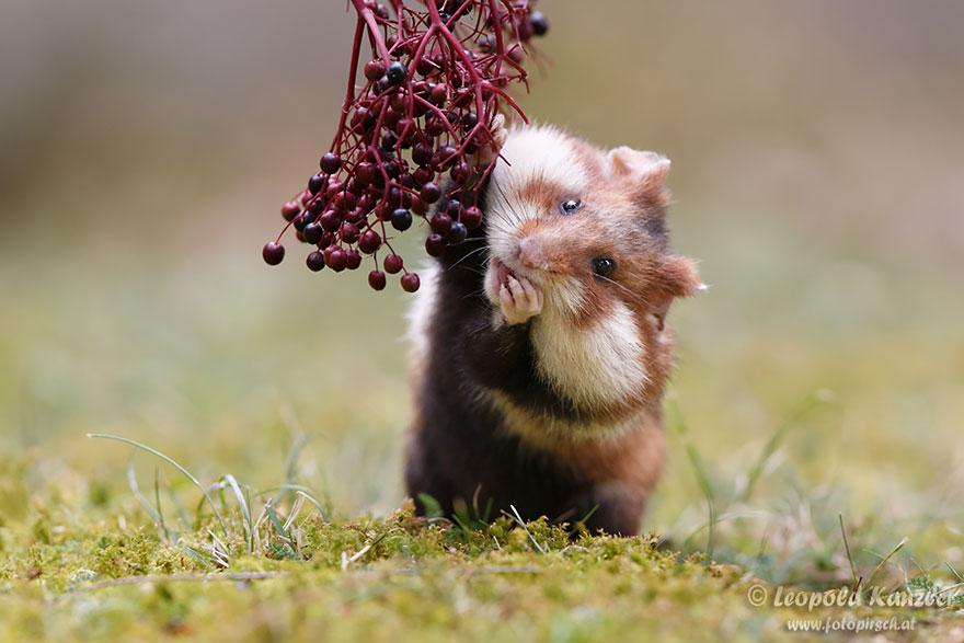 hamster12