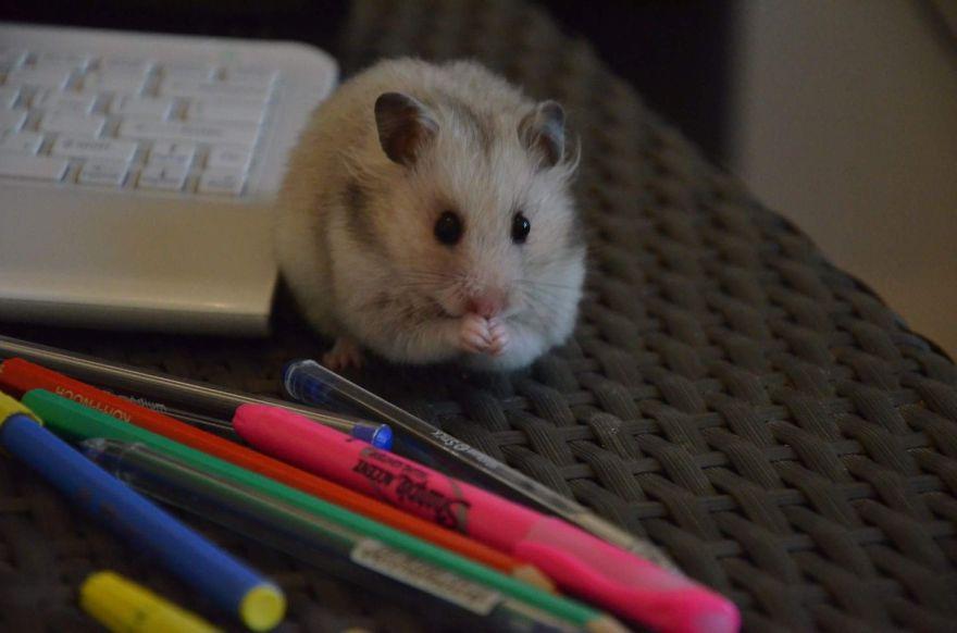 hamster25