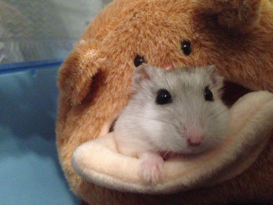 hamster27