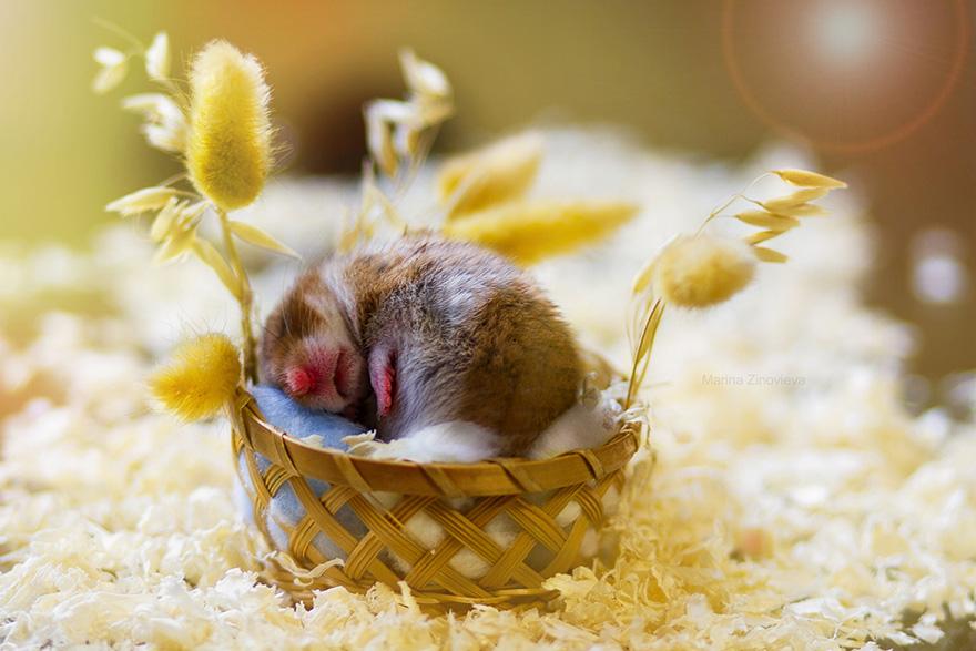 hamster7