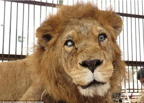 leones-maltratados-circo
