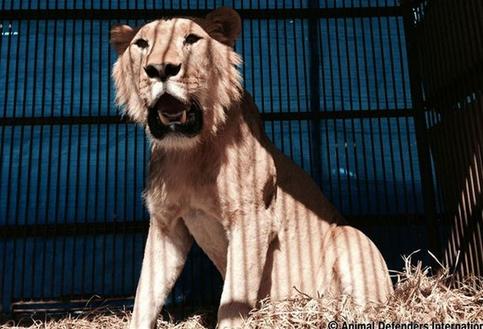 leones-maltratados-circo4