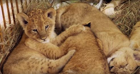 leones-maltratados-circo7