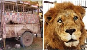 leones-rescatados-circos