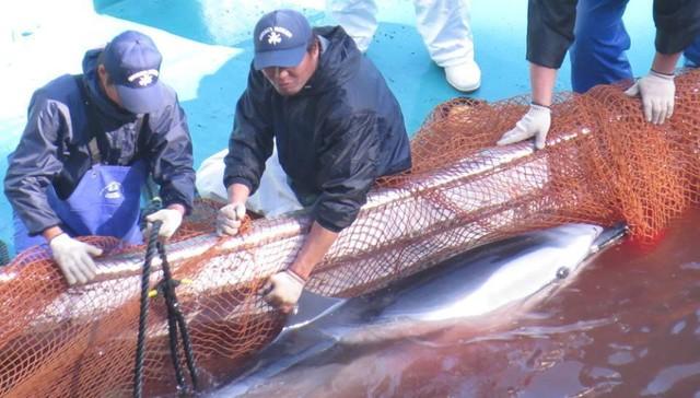 matanza-delfines-japon1