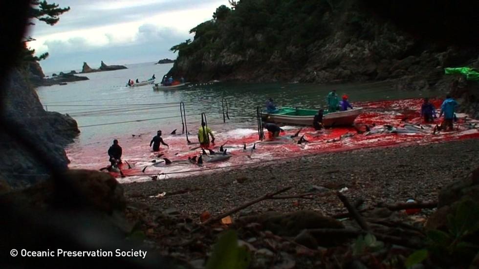 matanza-delfines-japon4