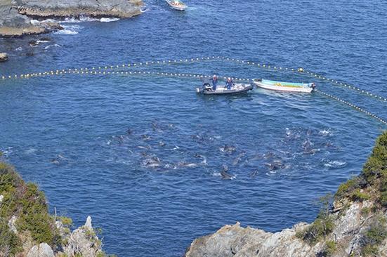 matanza-delfines-japon7