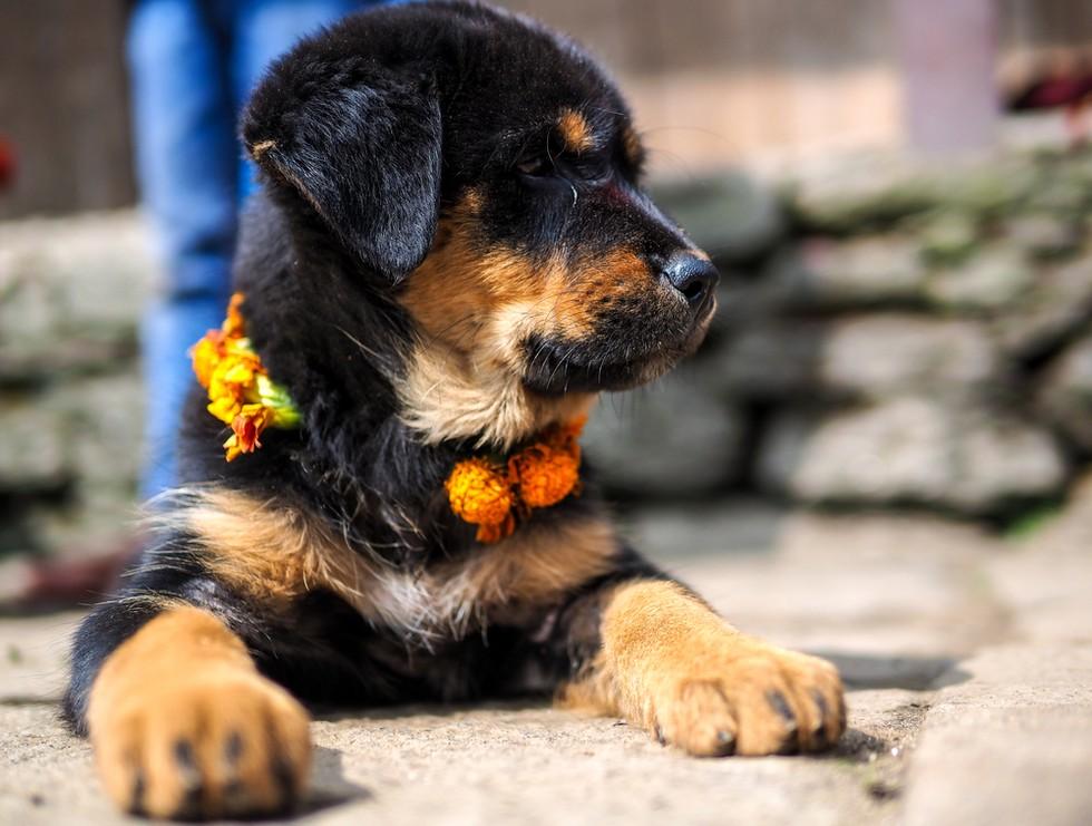 nepal celebra perros 3