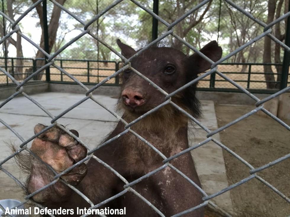 oso-liberado-circo2