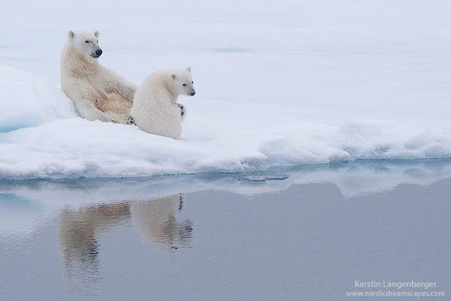 osos-polares-artico2