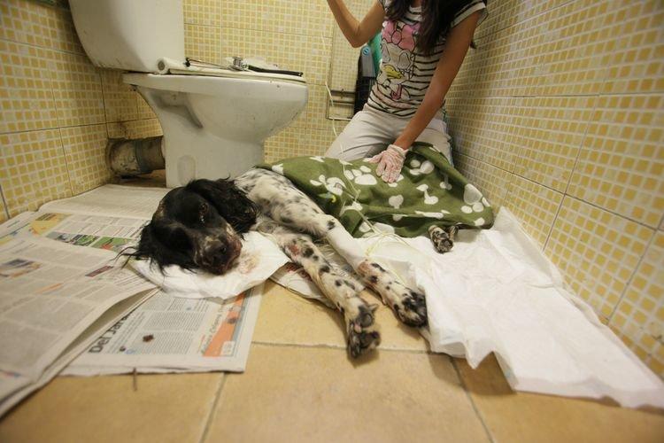 Ourense, Eiroás. 3-09-2015. Asistencia al perro encontrado malherido en ourense, lo asite Area. Paz