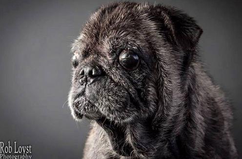 pug-teddy5