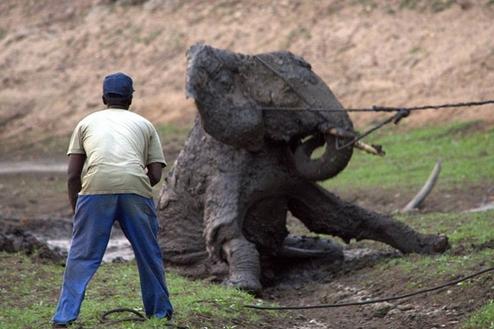 rescate-elefante11