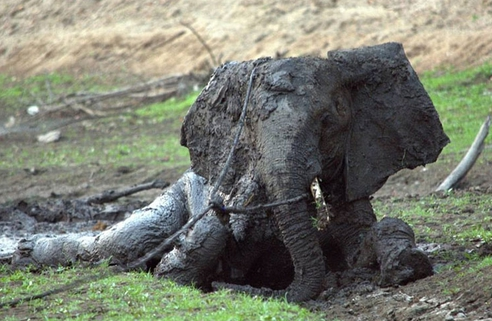 rescate-elefante15