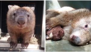 rescate-wombat-huerfano